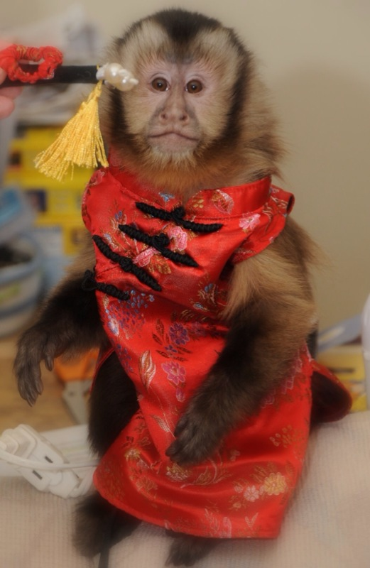 small monkey in costume