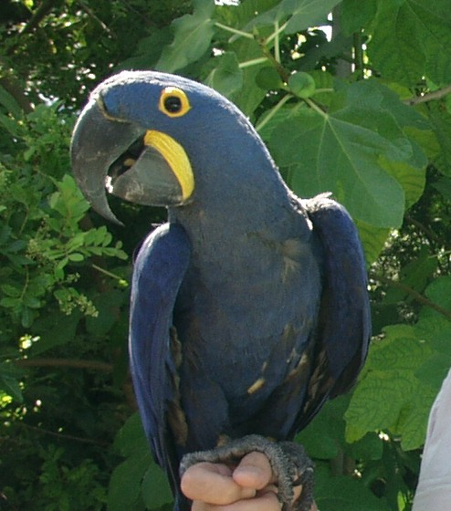 Hyacinth Macaw for Rio Party picture of a blue parrot